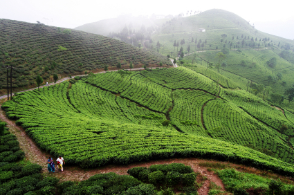 darjeeling tourist attraction - tea plantation
